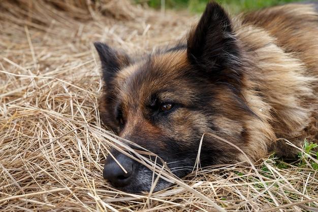 German shepherd dog. a sad sick german shepherd lies in the hay.