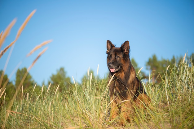 A german shepherd dog sitting on green grass