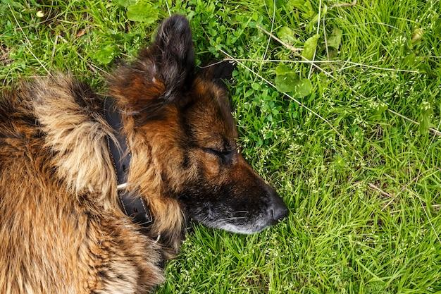 緑の芝生で眠っているジャーマンシェパード犬。犬の頭のクローズアップ。