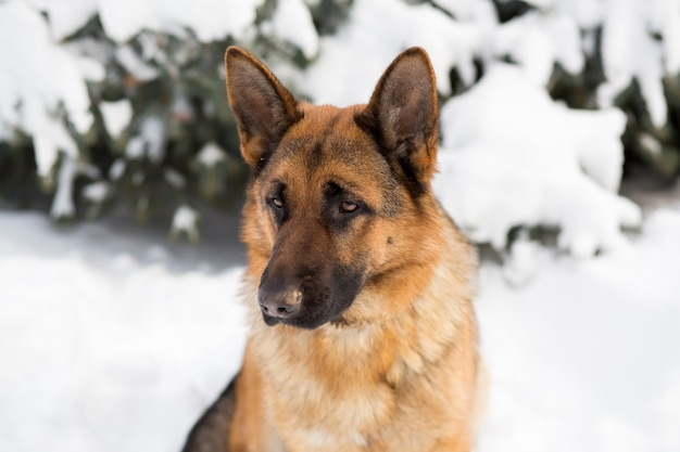 German shepherd dog, standing in the snow