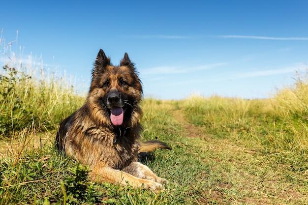 독일 셰퍼드 개. 개는 푸른 잔디에 놓여 있습니다.