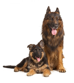 German shepherd dogs, father and son, isolated