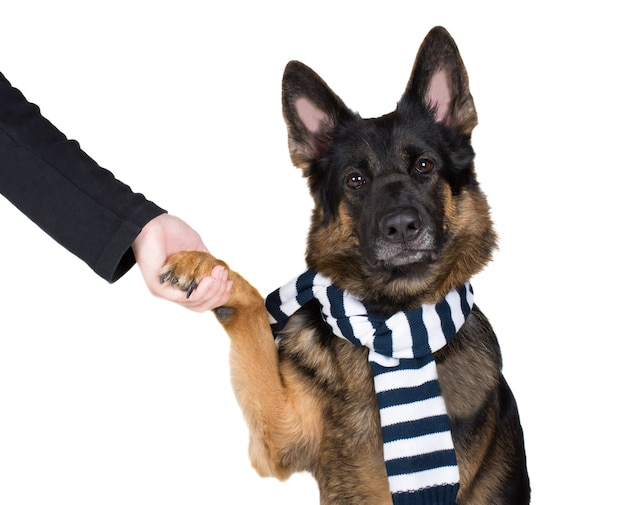 German shepherd giving a paw to its owner