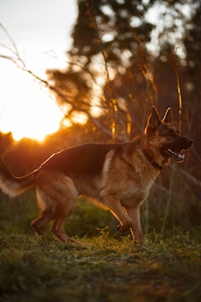 German shepherd at golden light