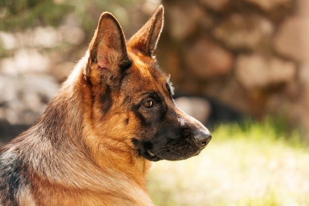 Немецкая овчарка в парке. портрет породистой собаки.