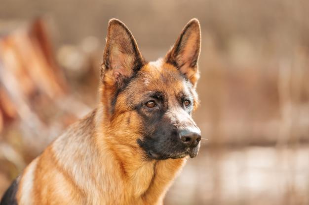 公園のジャーマンシェパード。純血種の犬の肖像画。
