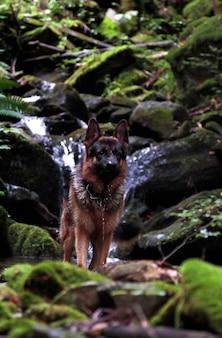 滝のある森の中のジャーマンシェパード