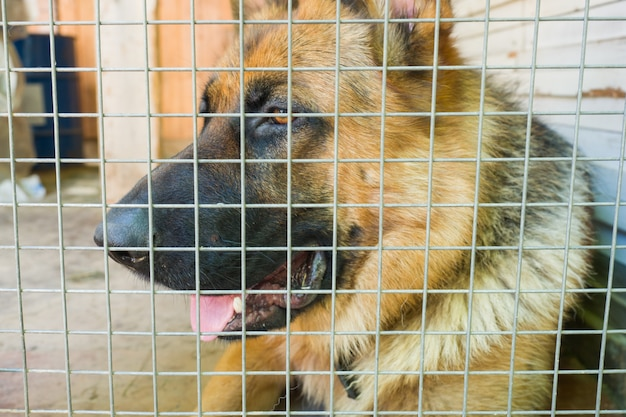German shepherd is locked in a cage