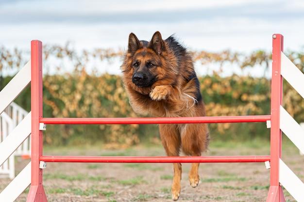 Немецкая овчарка прыгает через забор для ловкости на открытом воздухе