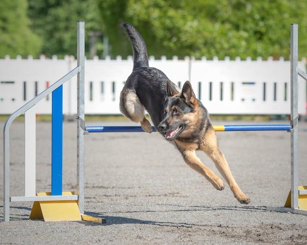 Немецкая овчарка прыгает через препятствия на трассе аджилити