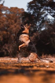 German shepherd jumping on the river