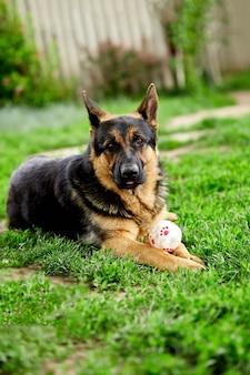 독일 셰퍼드 공원에서 잔디에 누워. 순종 강아지의 초상화입니다. 카메라를 찾고 있습니다. 잔디에 독일 셰퍼드, 공원에서 개, 개 초상화