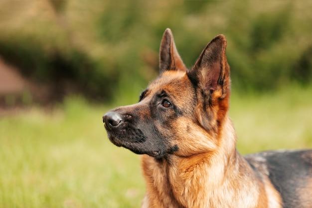 Немецкая овчарка лежала на траве в парке. портрет чистокровной собаки.