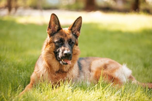 公園の芝生の上に横たわっているジャーマン・シェパード。純血種の犬の肖像画。