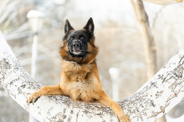 German shepherd made a funny snout trying to jump over a tree