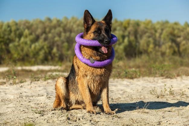 ジャーマンシェパード、男の親友、お気に入り、ペット、番犬、散歩のための羊犬