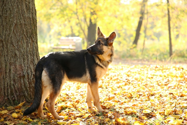 German shepherd near the tree in the autumn park. dog in forest