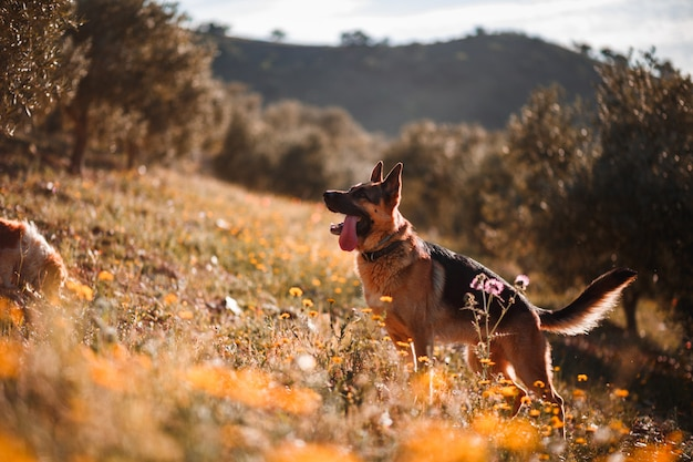 German shepherd playing on field of yellow flowers and olive trees