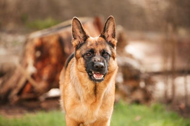 Немецкая овчарка играет на траве в парке. портрет породистой собаки.