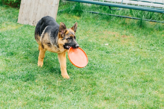 German shepherd plays on the grass with a flying saucer