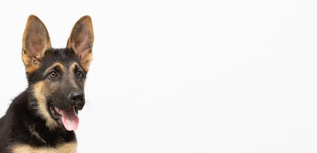German shepherd puppy little dog