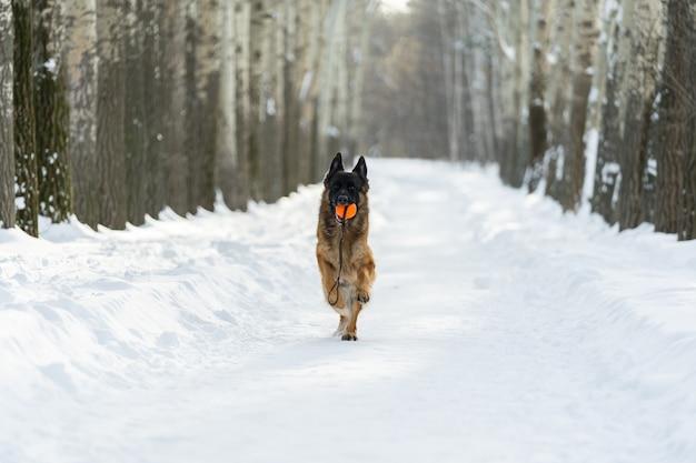 German shepherd quickly runs towards the owner