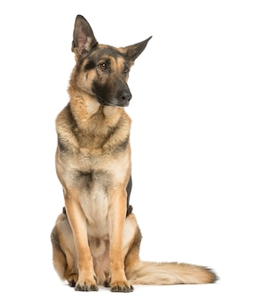 German shepherd sitting and looking away