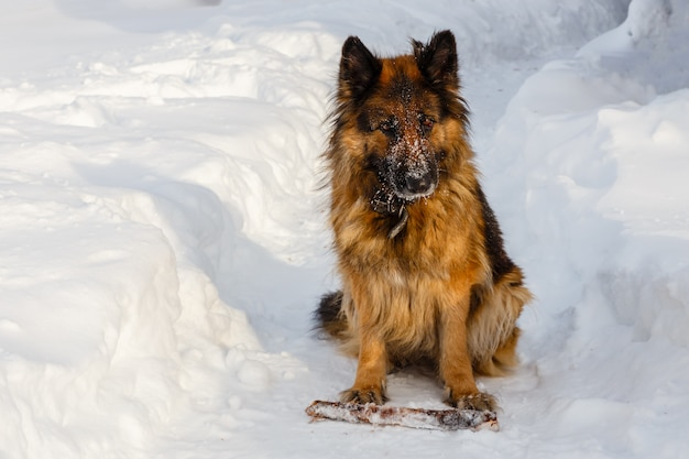German shepherd sitting in the snow with a stick