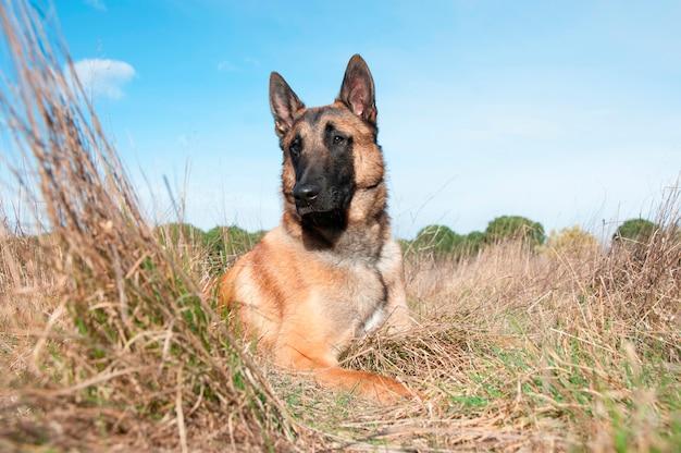 A german shepherd sitting
