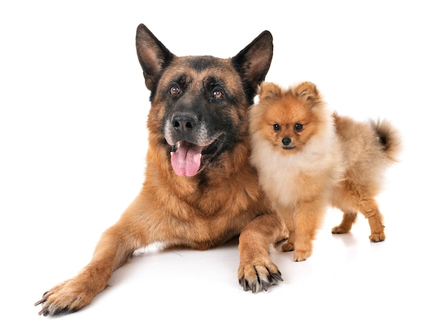 German shepherd and spitz