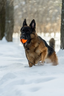 German shepherd stands holding up the front paw with an orange ball in his teeth