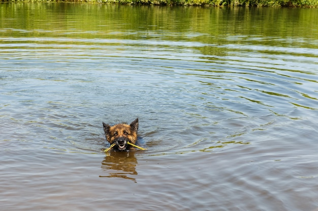 ジャーマンシェパードが川で泳ぎ、犬が棒で遊ぶ