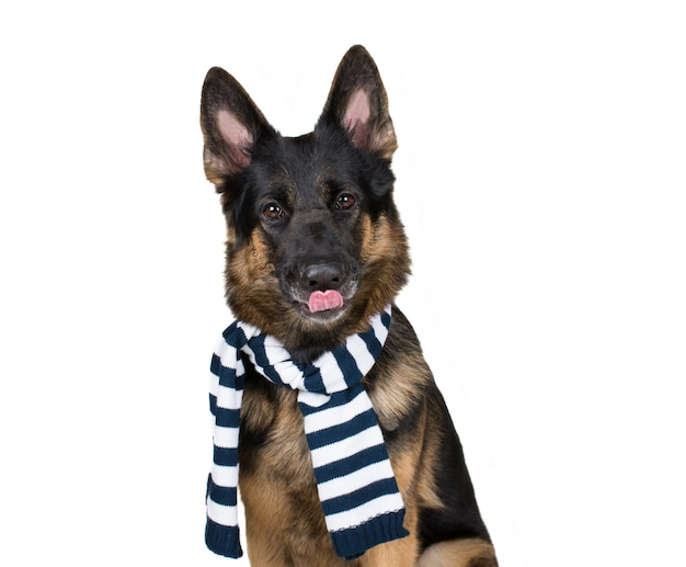 German shepherd wearing a scarf