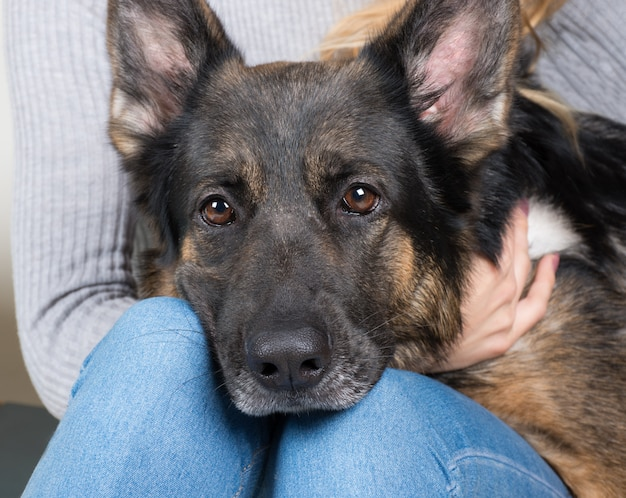 German shepherd with its head on the lap of its owner