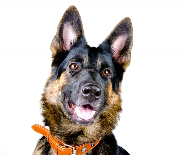 German shepherd with an open mouth isolated on white
