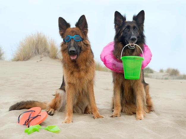 German shepherds on the beach