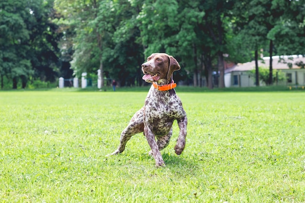 ジャーマンショートヘアード犬が公園の芝生の上を走っています_