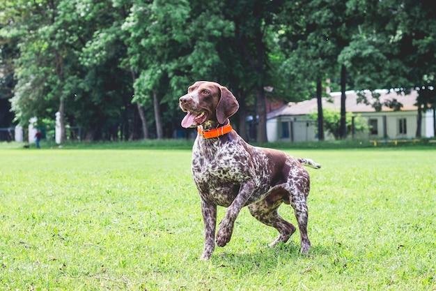 ドイツのショートヘアード犬が公園の芝生の上を走っています