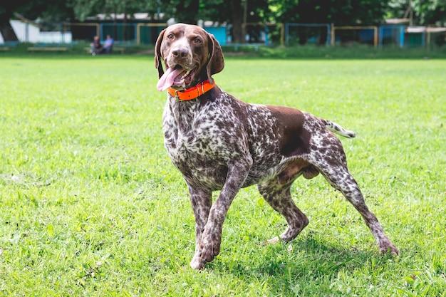 Немецкая короткошерстная собака бежит по лужайке в парке