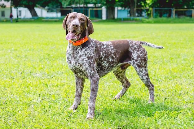 Немецкая короткошерстная собака стоит того на лужайке в парке