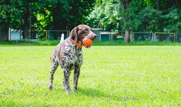 ジャーマンショートヘアードポアントドッグは、彼の歯にボールを持って芝生の上に立っています