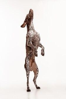 Немецкий короткошерстный пойнтер - щенок курцхаара, стоящий на белом фоне студии