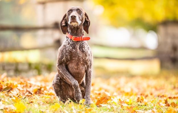 독일 쇼트헤어드 포인터는 가을날 단풍에 앉아 주인의 명령을 순종적으로 기다립니다.