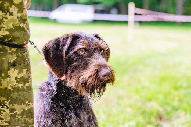 Немецкая жесткошерстная легавая (дратхаар). собака на поводке рядом с хозяином