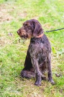 Немецкая жесткошерстная легавая (дратхаар). собака на поводке
