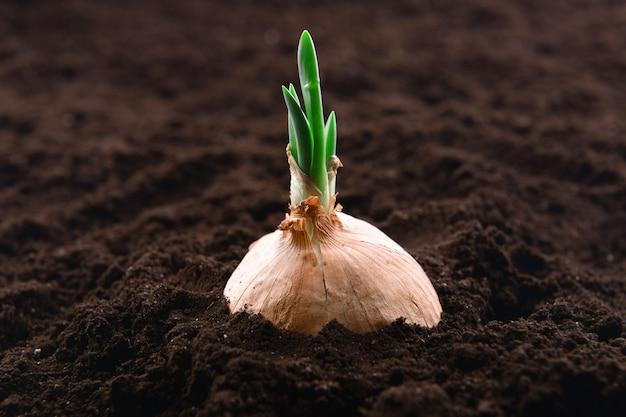 토양 클로즈업에서 발아 된 양파