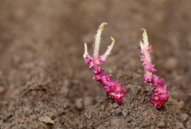 Прорастание растений картофеля в плодородной почве крупным планом