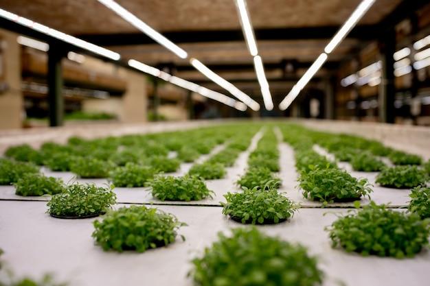 水耕栽培用のロックウールの発芽ルッコラ。庭での植物栽培の準備。緑の芽。繁殖地。天然物。