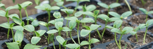 Проращивание рассады томатов в горшках с натуральным удобрением в тепличных условиях.