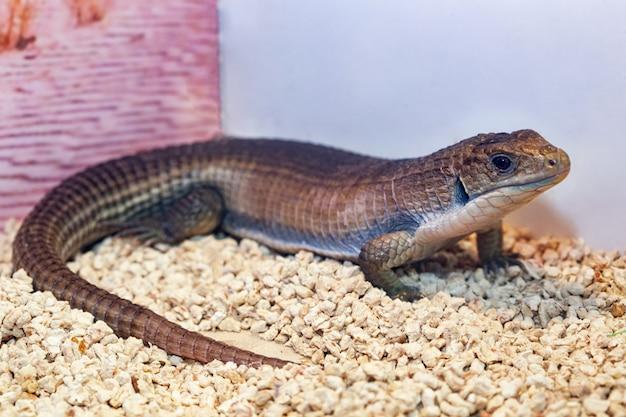 Крупный геррозавр или суданская ящерица